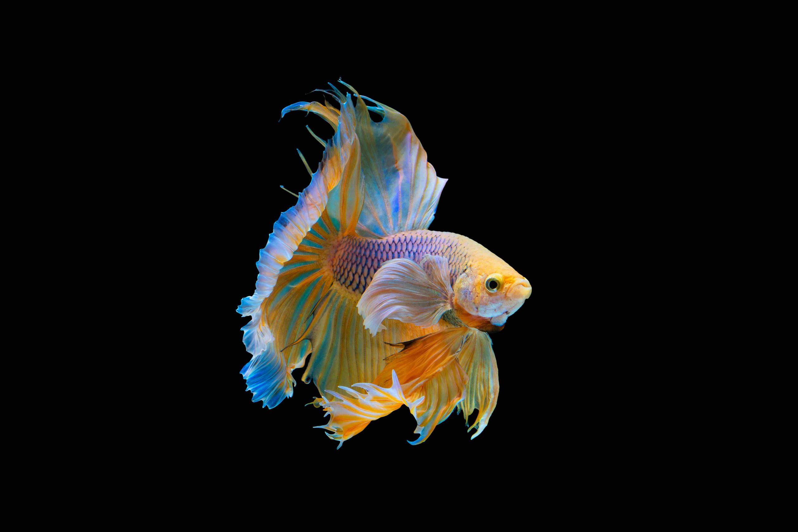betta fish rainbow