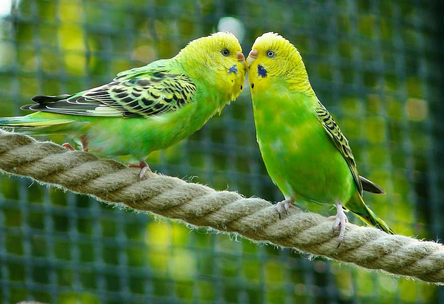 two green budgerigars on a rope