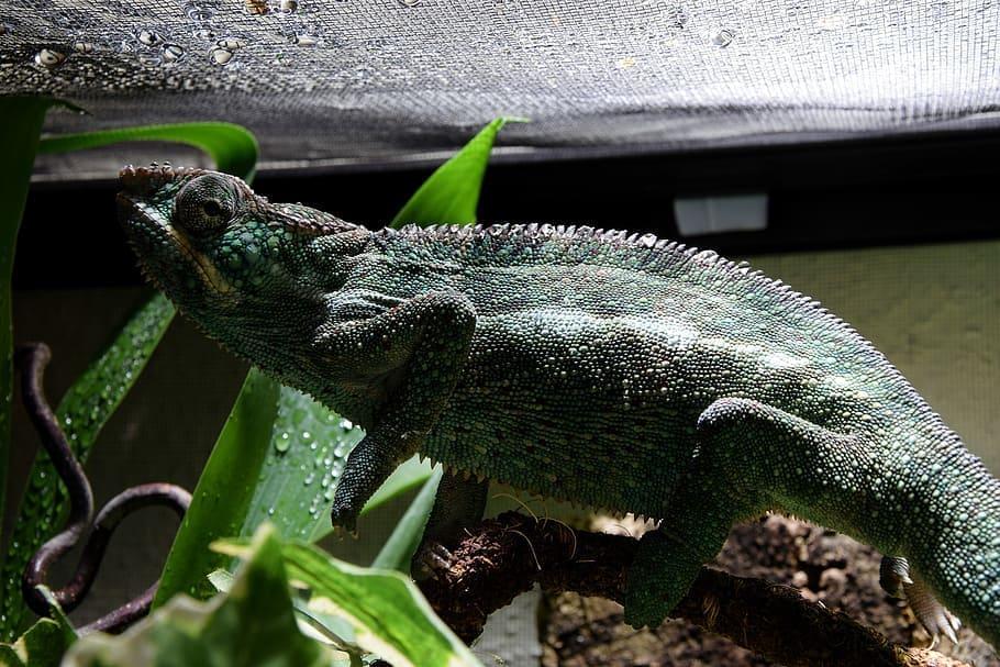 chameleon in terrarium