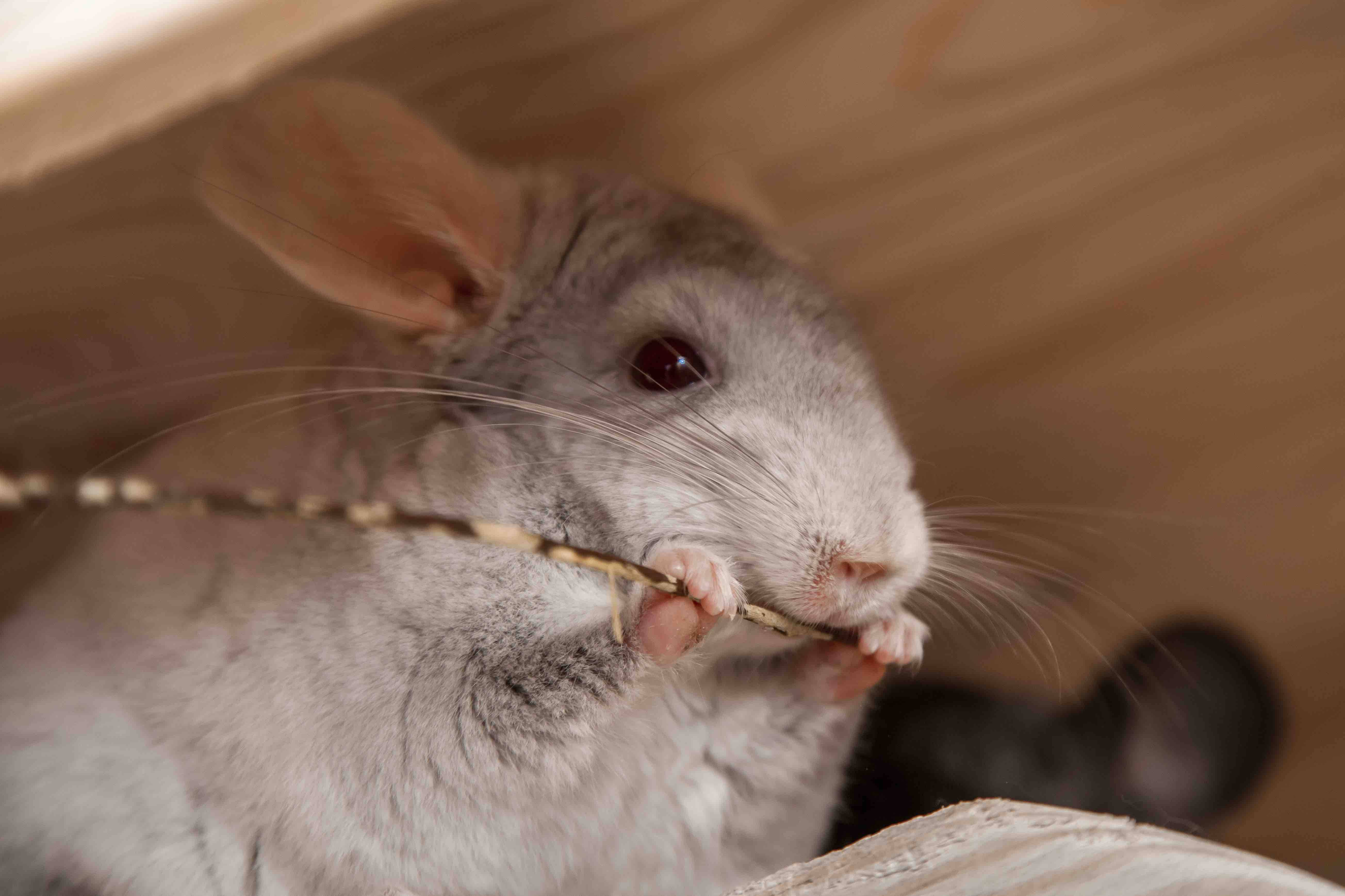 chewing chinchilla