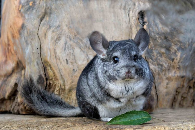 chinchilla fat grey
