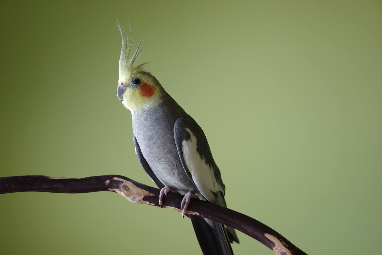 cockatiel on branch