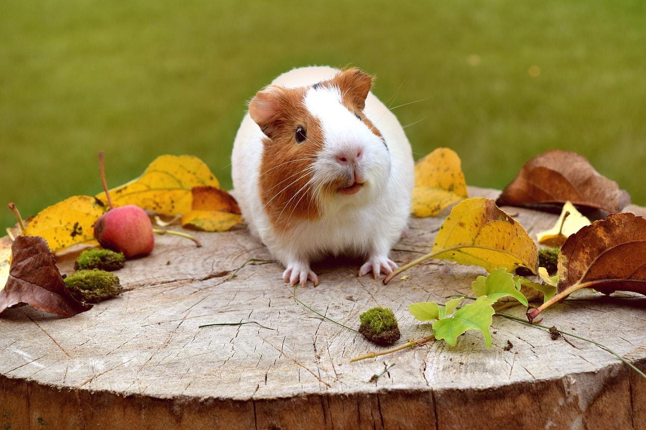 cute guinea pig outside