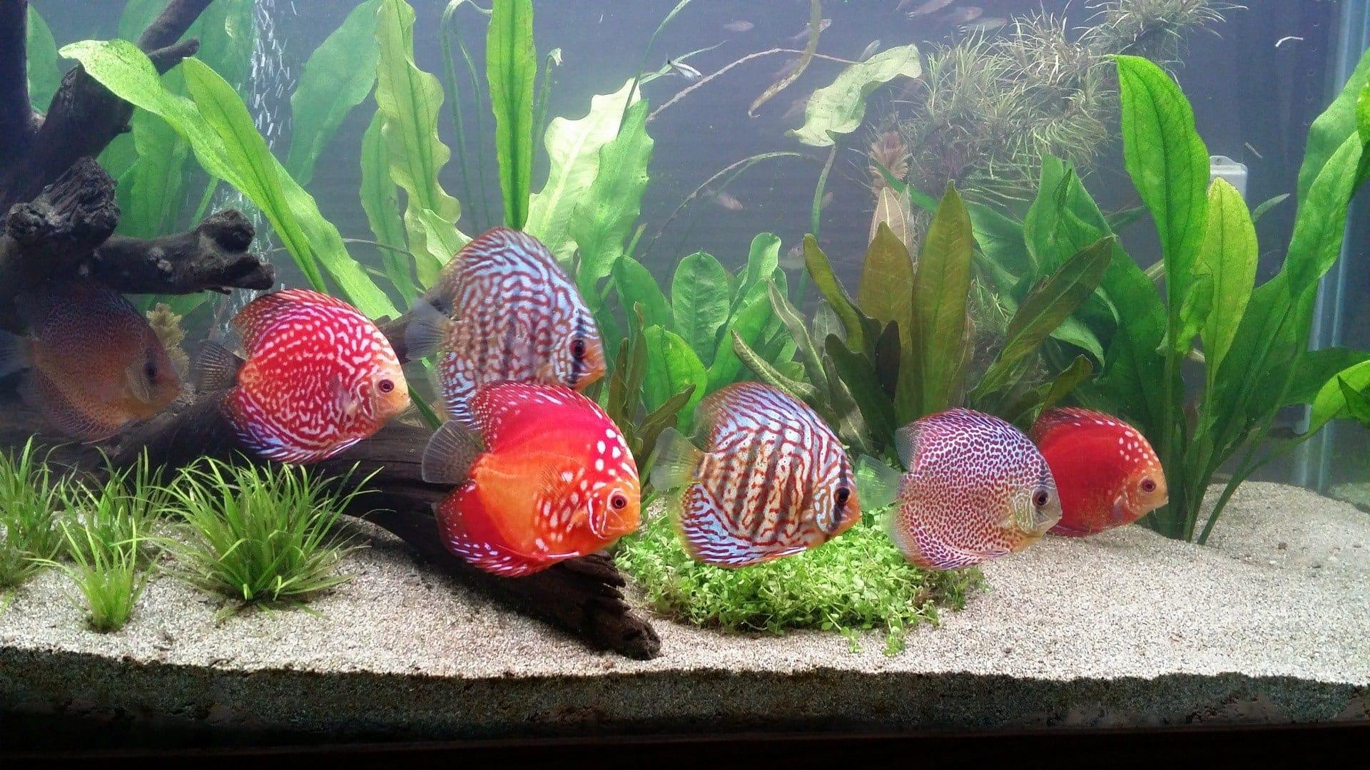 discus fish school