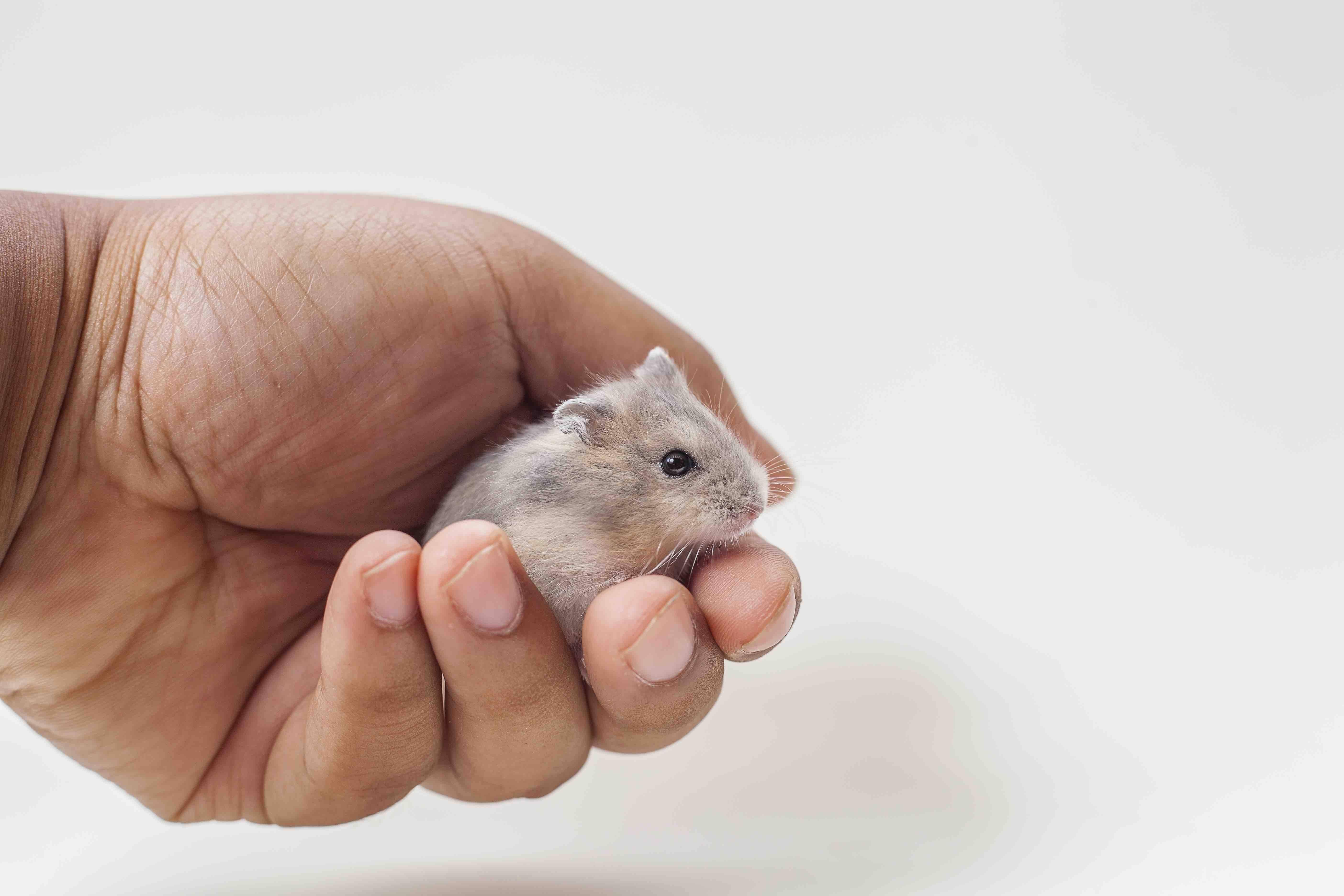 dward hamster