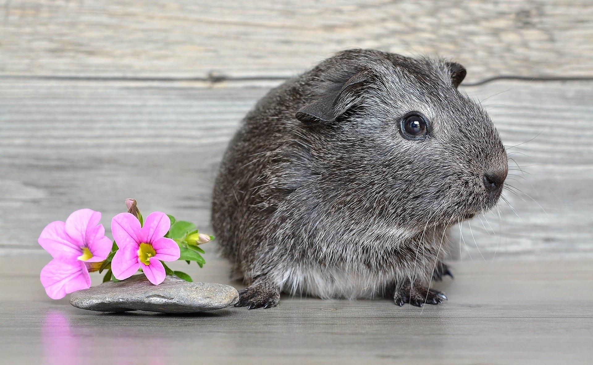 grey guinea pig