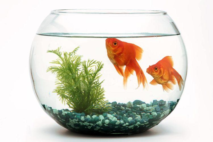 goldfish-fishbowl_LUIS-PADILLA-Fotografia-scaled, Shutterstock