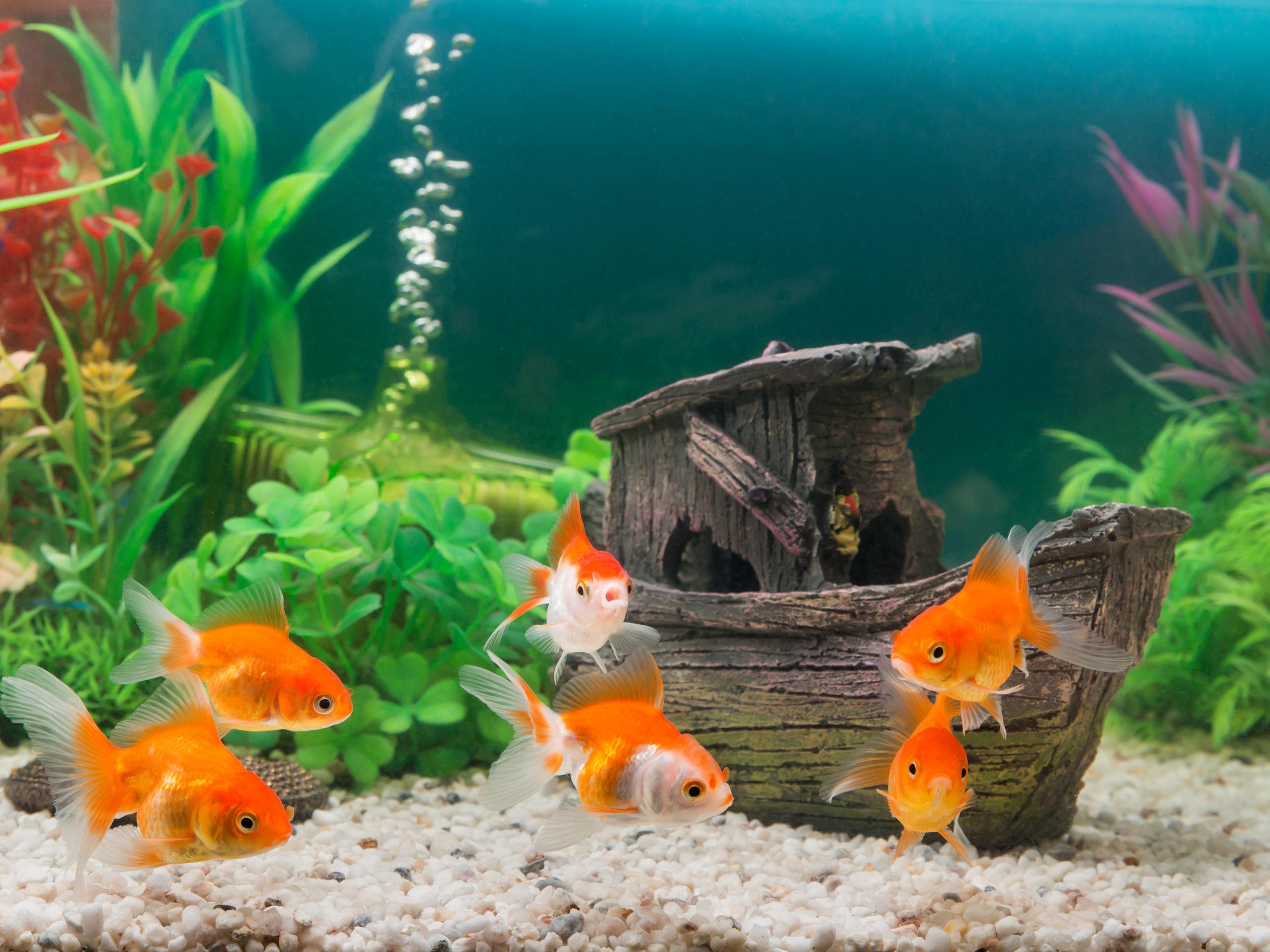 goldfish in freshwater tank