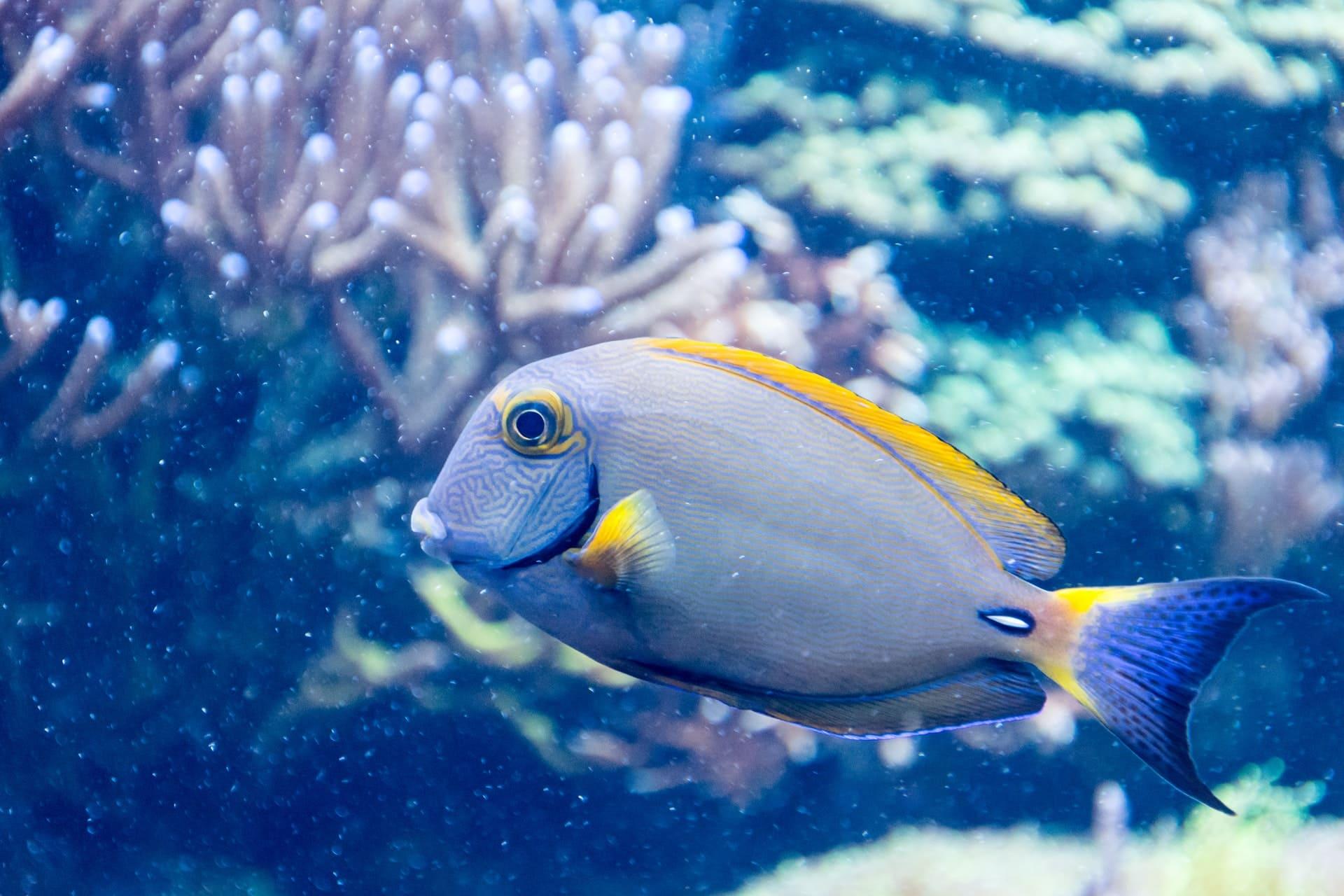 blue and yellow salt fish