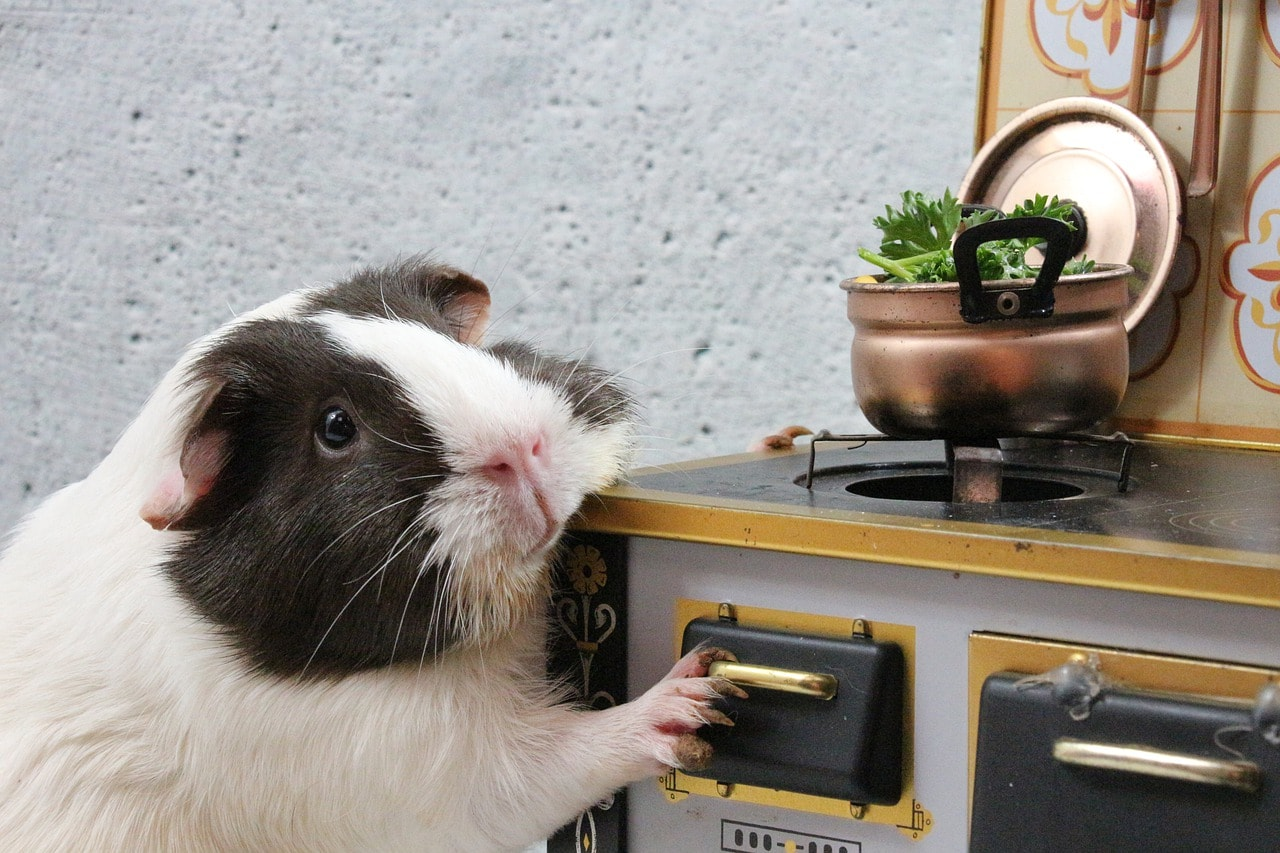 Funny guinea pig kitchen