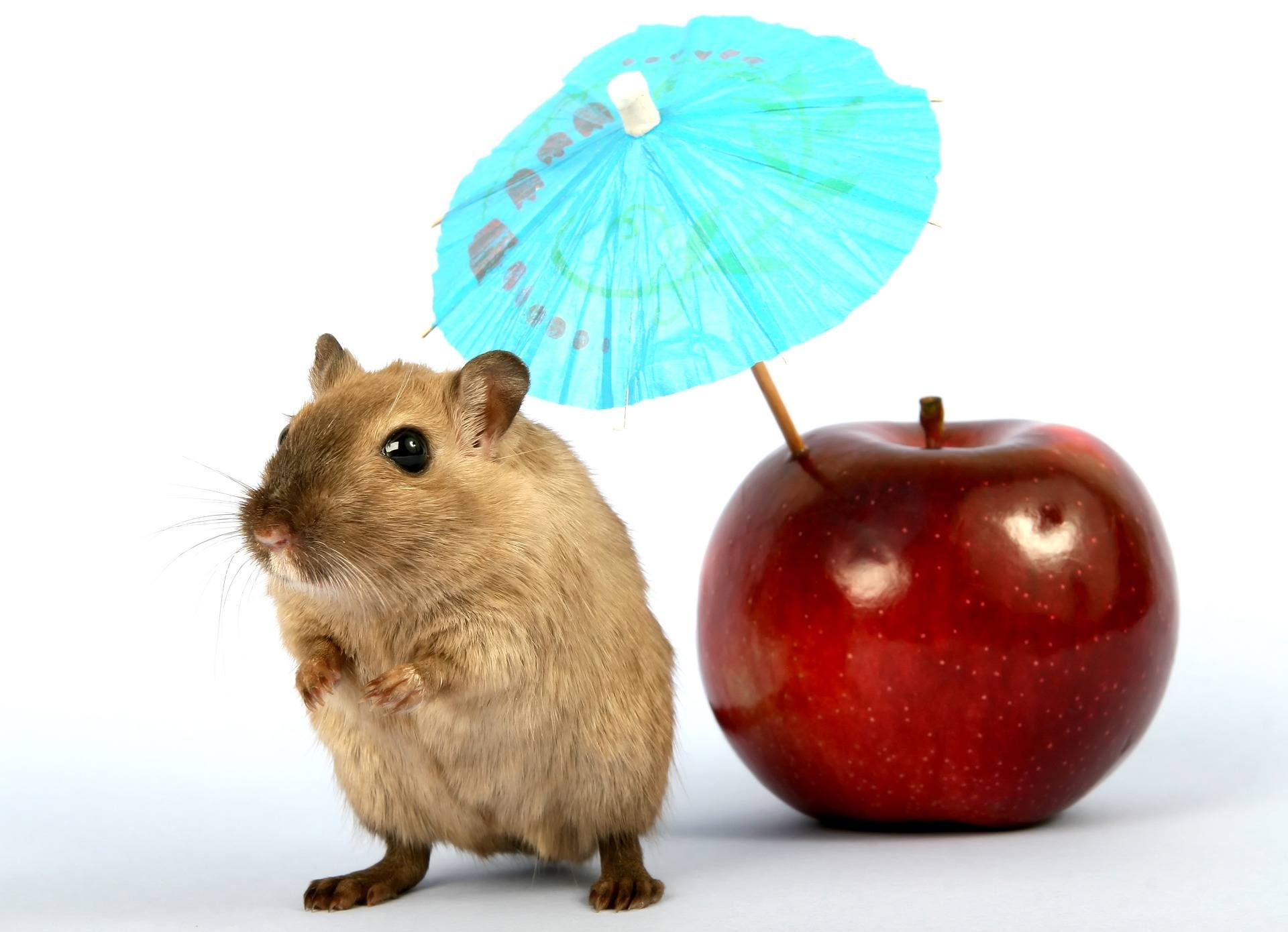 hamster umbrella apple