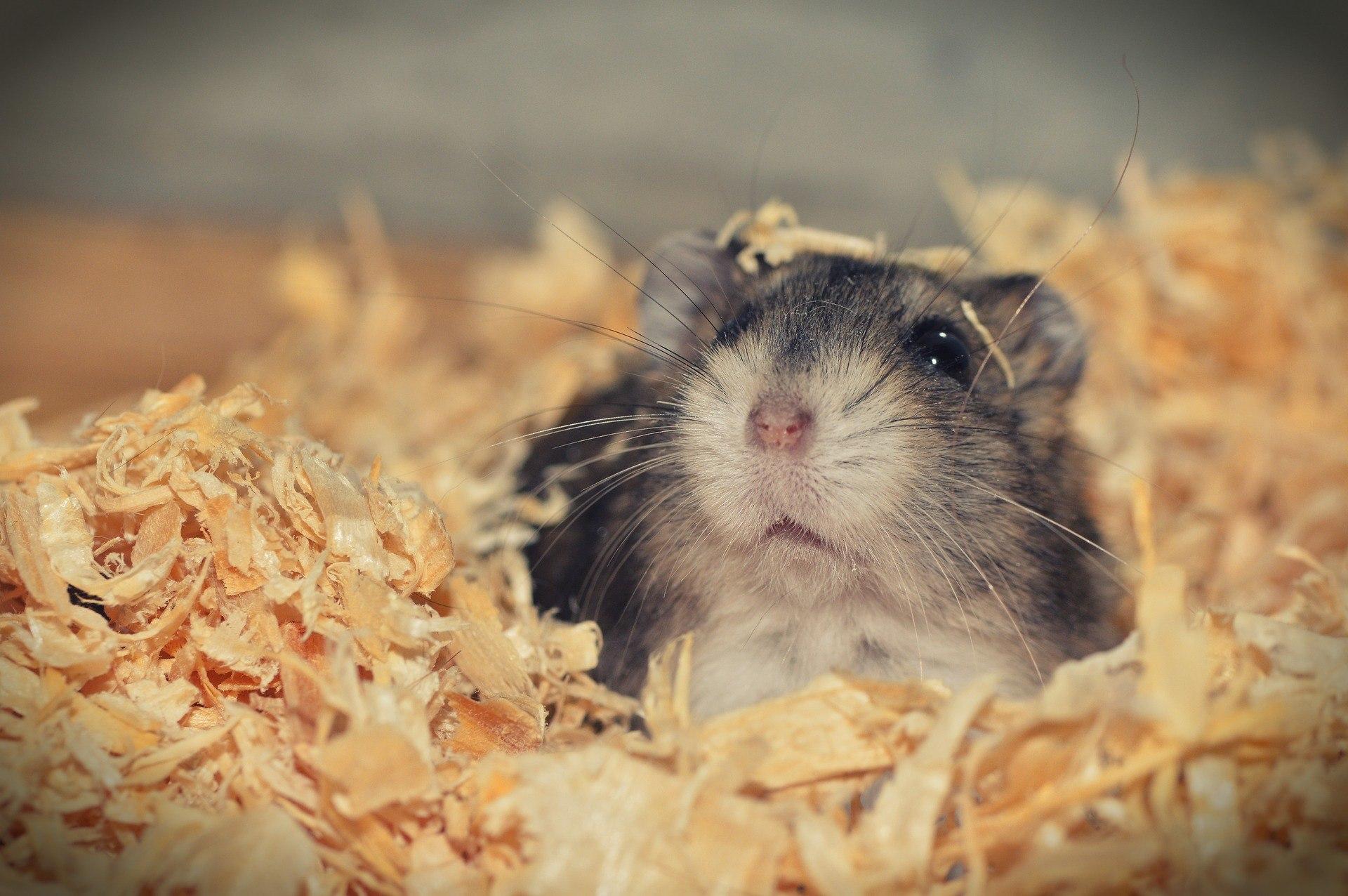 hamster in shavings
