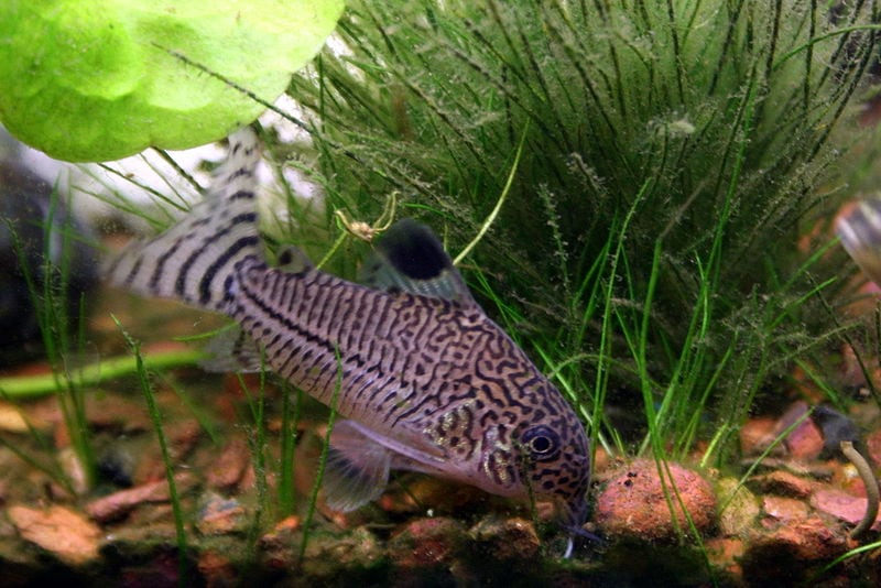 julii cory catfish