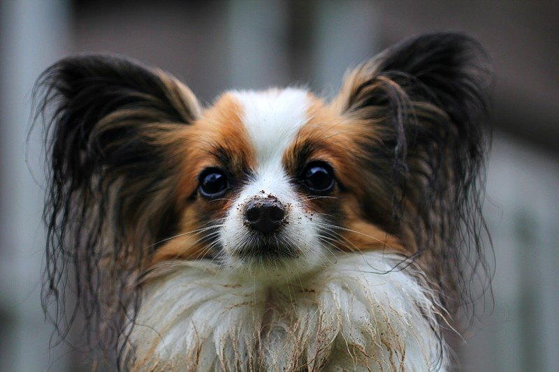 papillon with dirt on nose