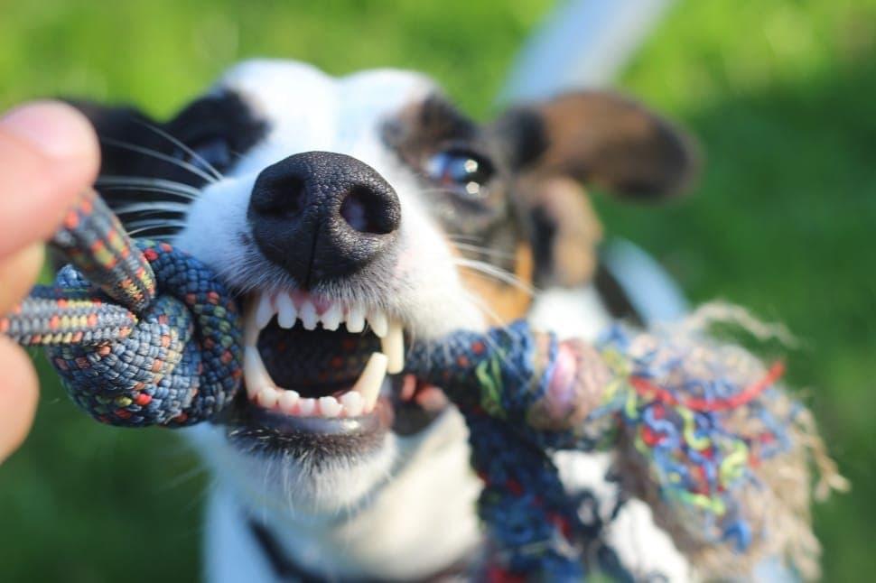rat terrier biting rope toy
