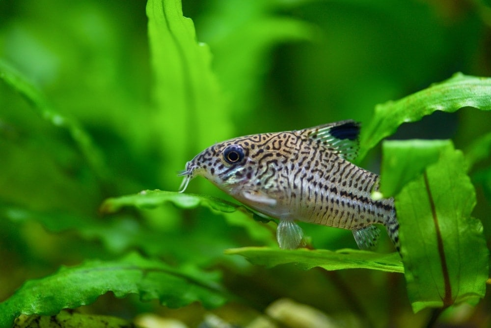 pepper cory catfish