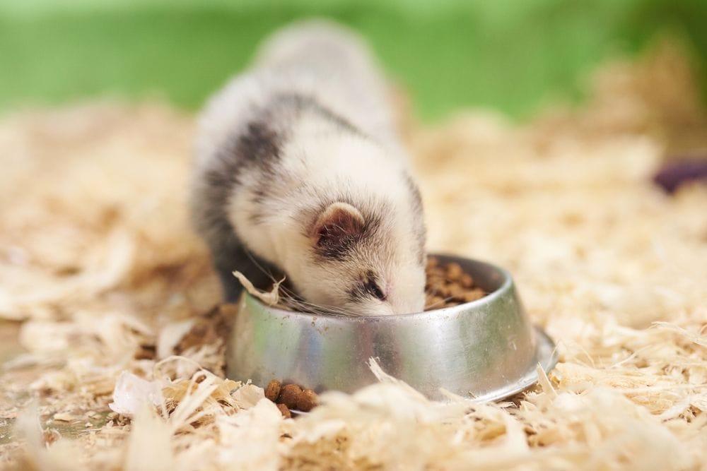 ferret eating