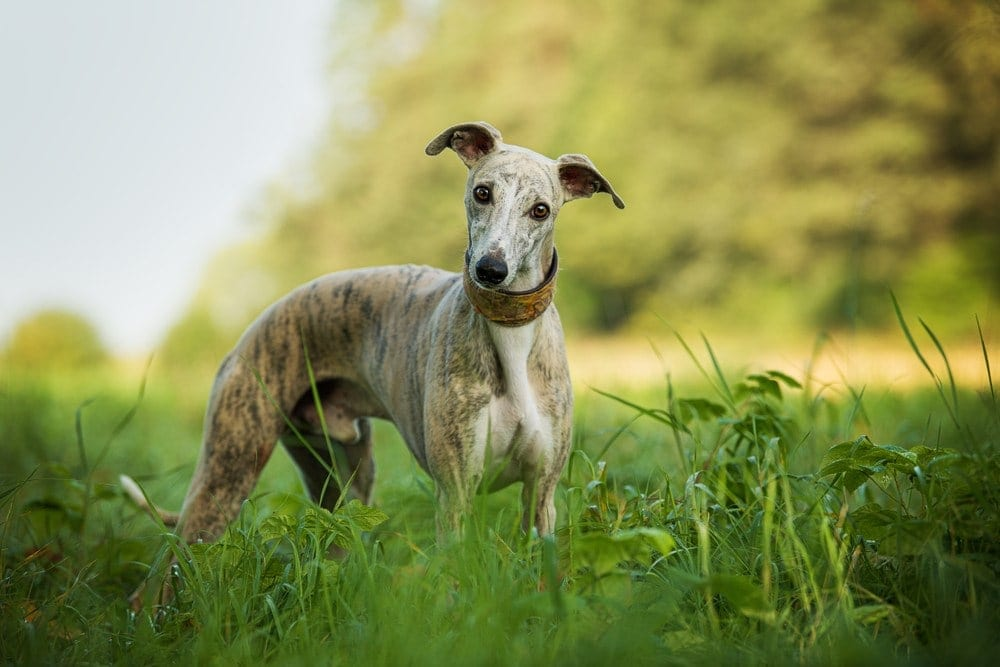 whippet in field