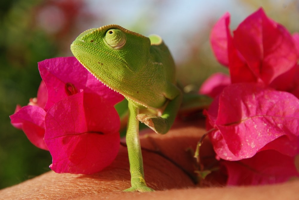 senegal chameleon in flowers