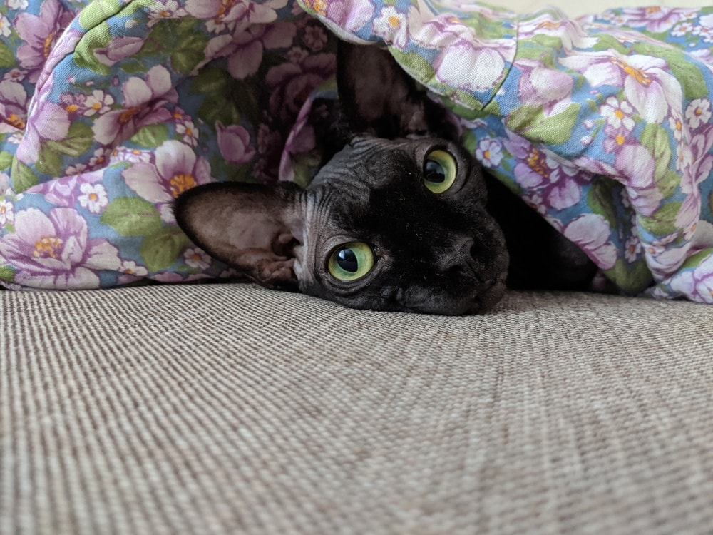 black sphynx under covers