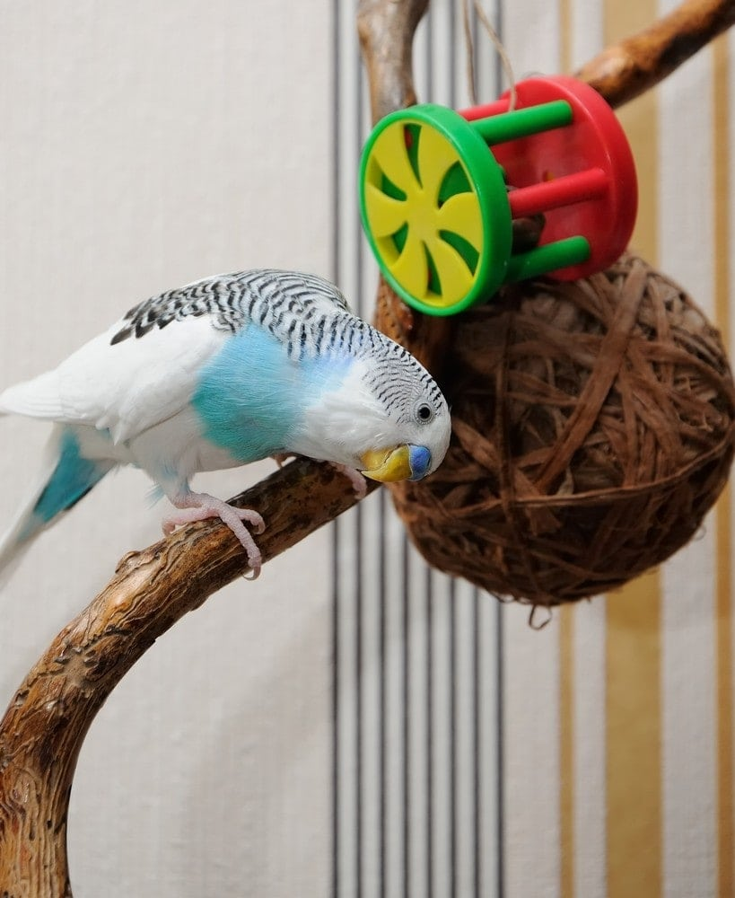 budgie playing with toy