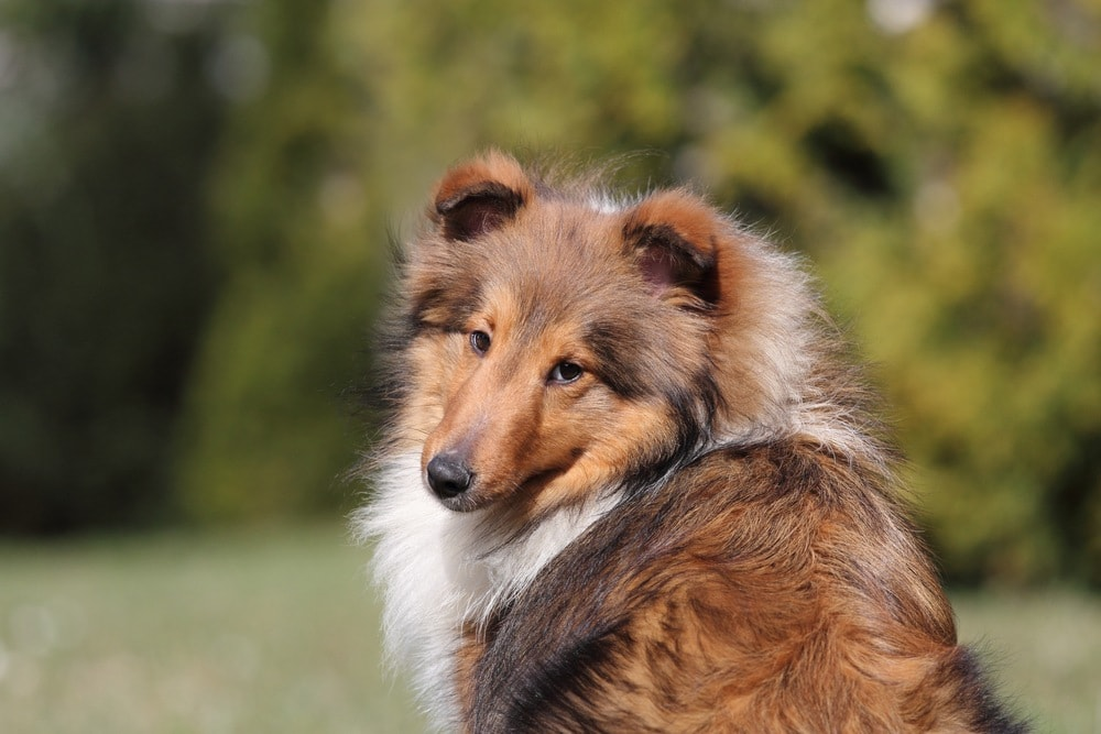 shetland shepherd
