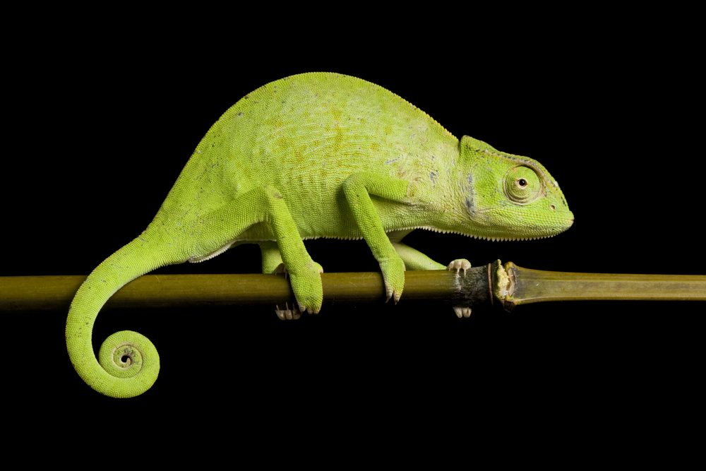 senegal chameleon on twig