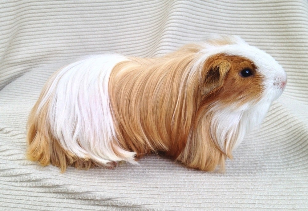 brown and white silkie guinea pig