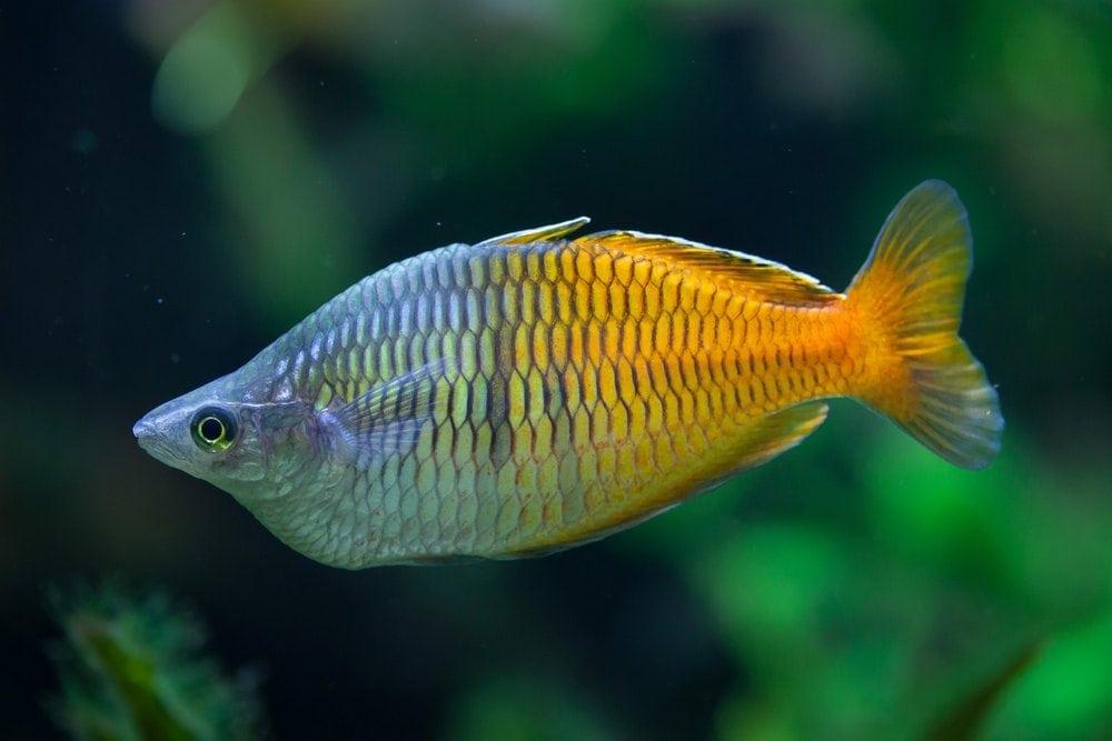 bosemans angelfish