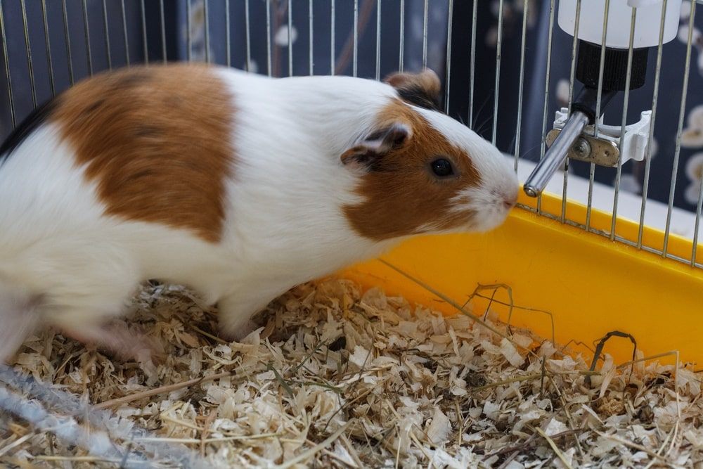 guinea pig drinking water in cage