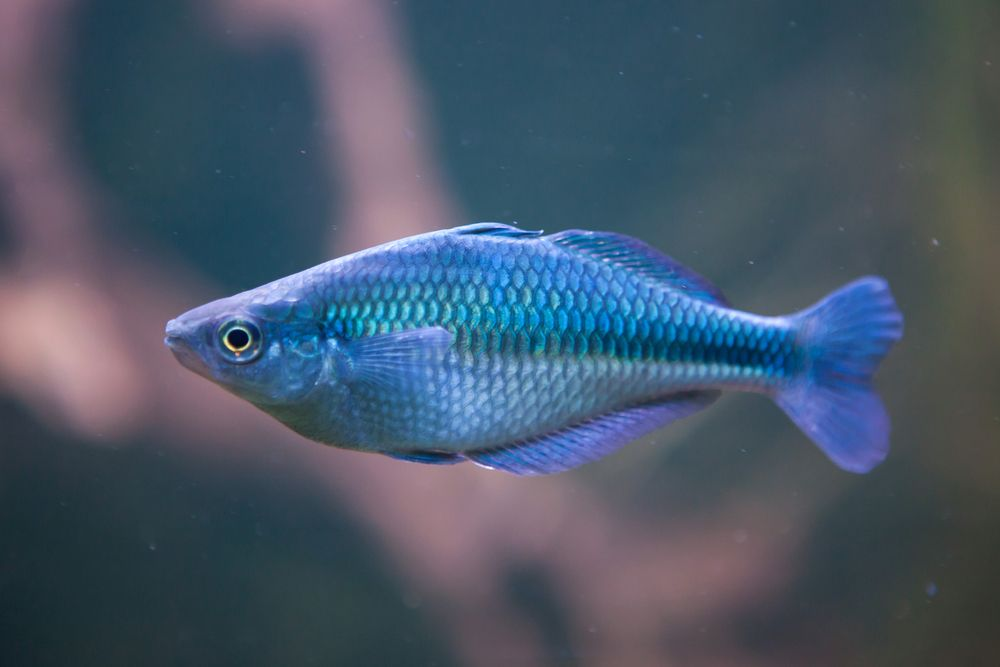 Lake Kutubu angel fish