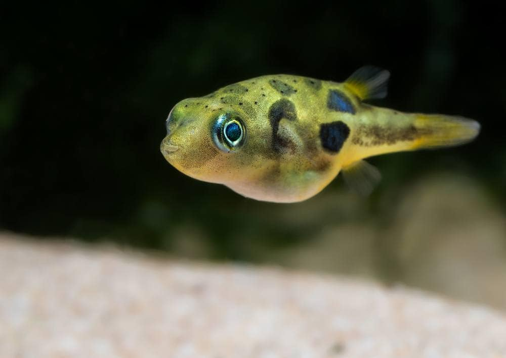 pygmy pufferfish
