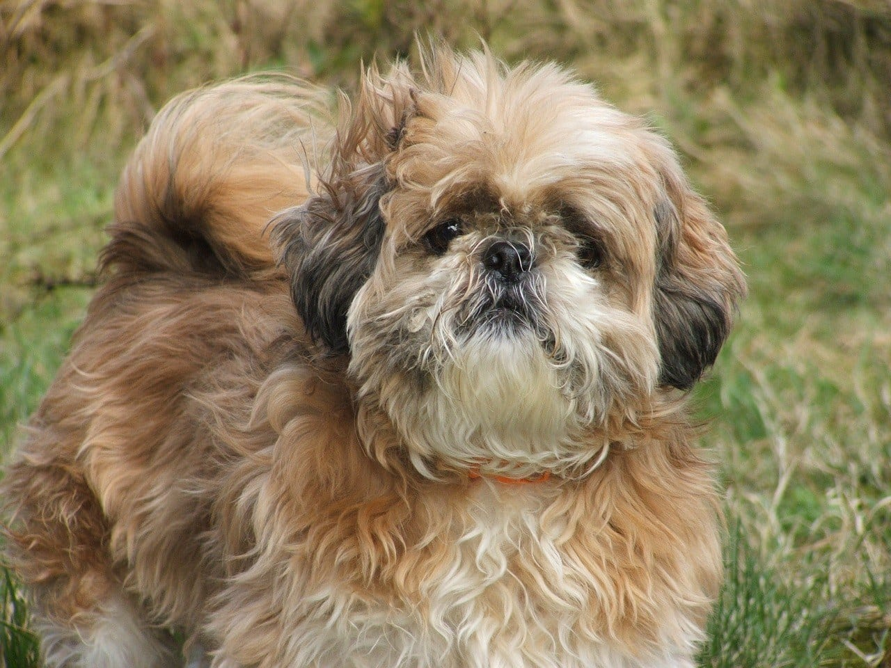 tri-color Shih Tzu
