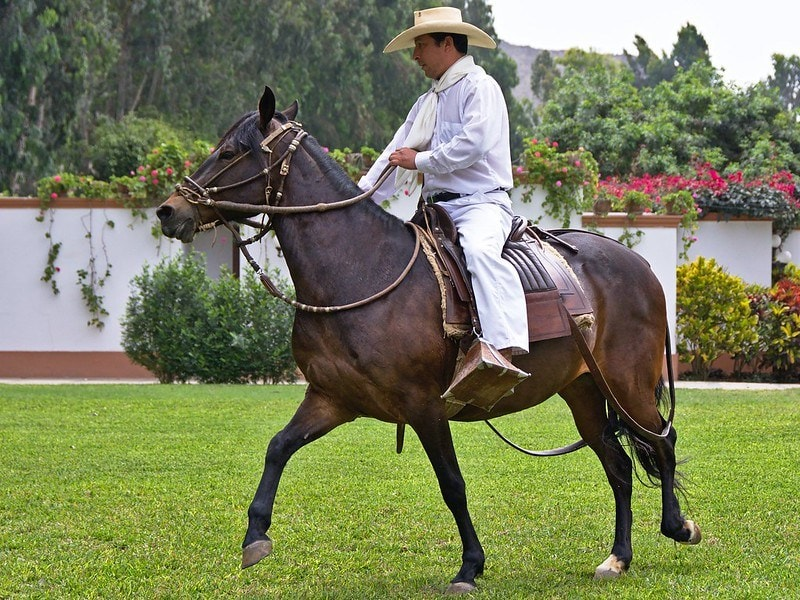 peruvian horse