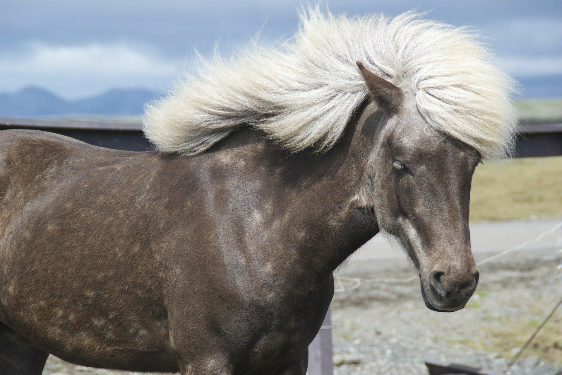 brown horse white hair