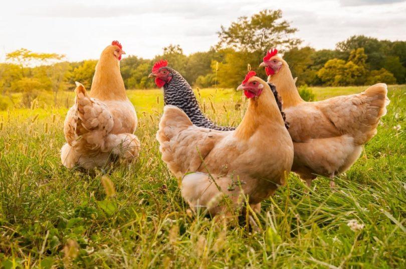 Sunset chickens