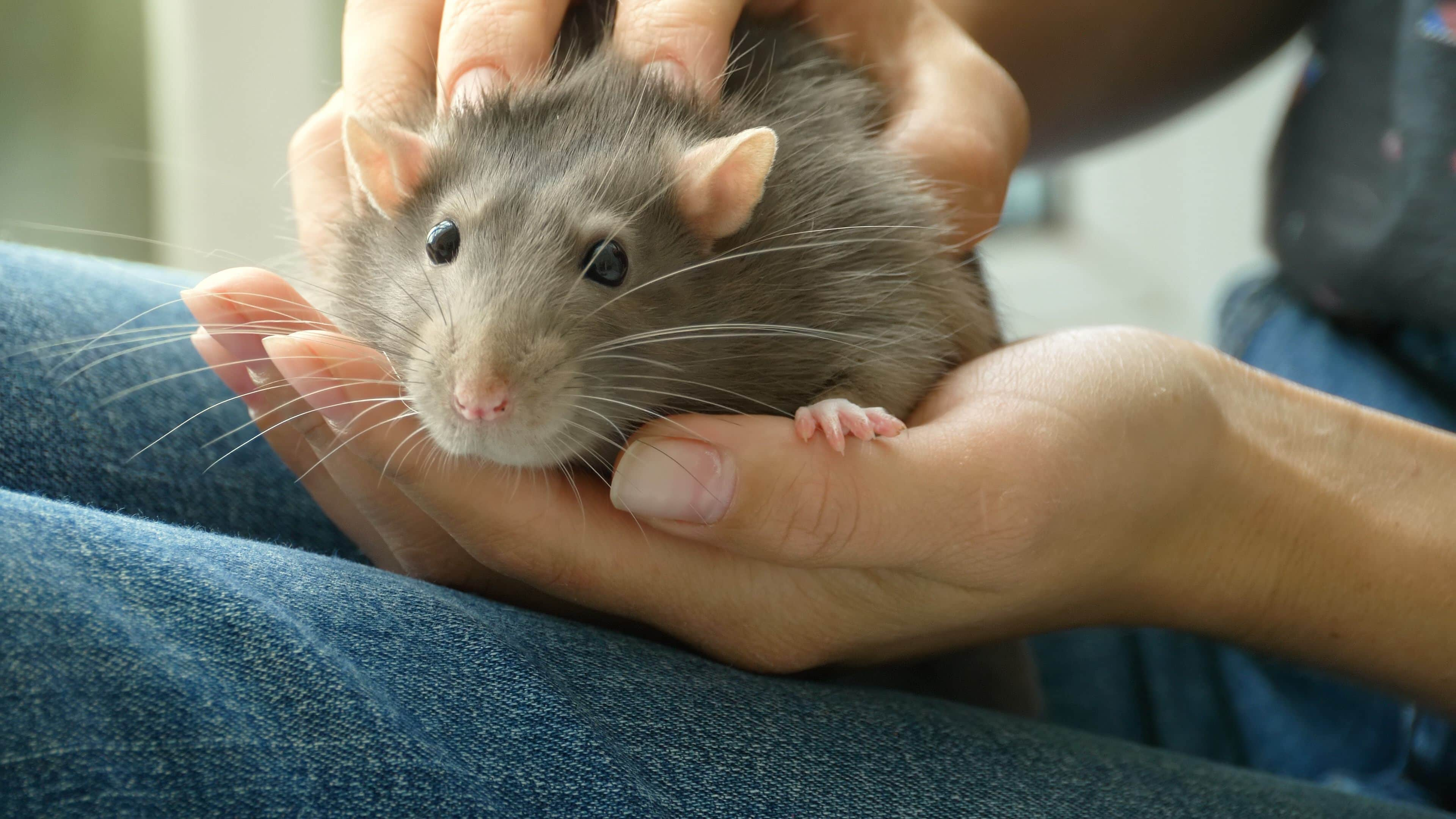 cute rat face in owners hands
