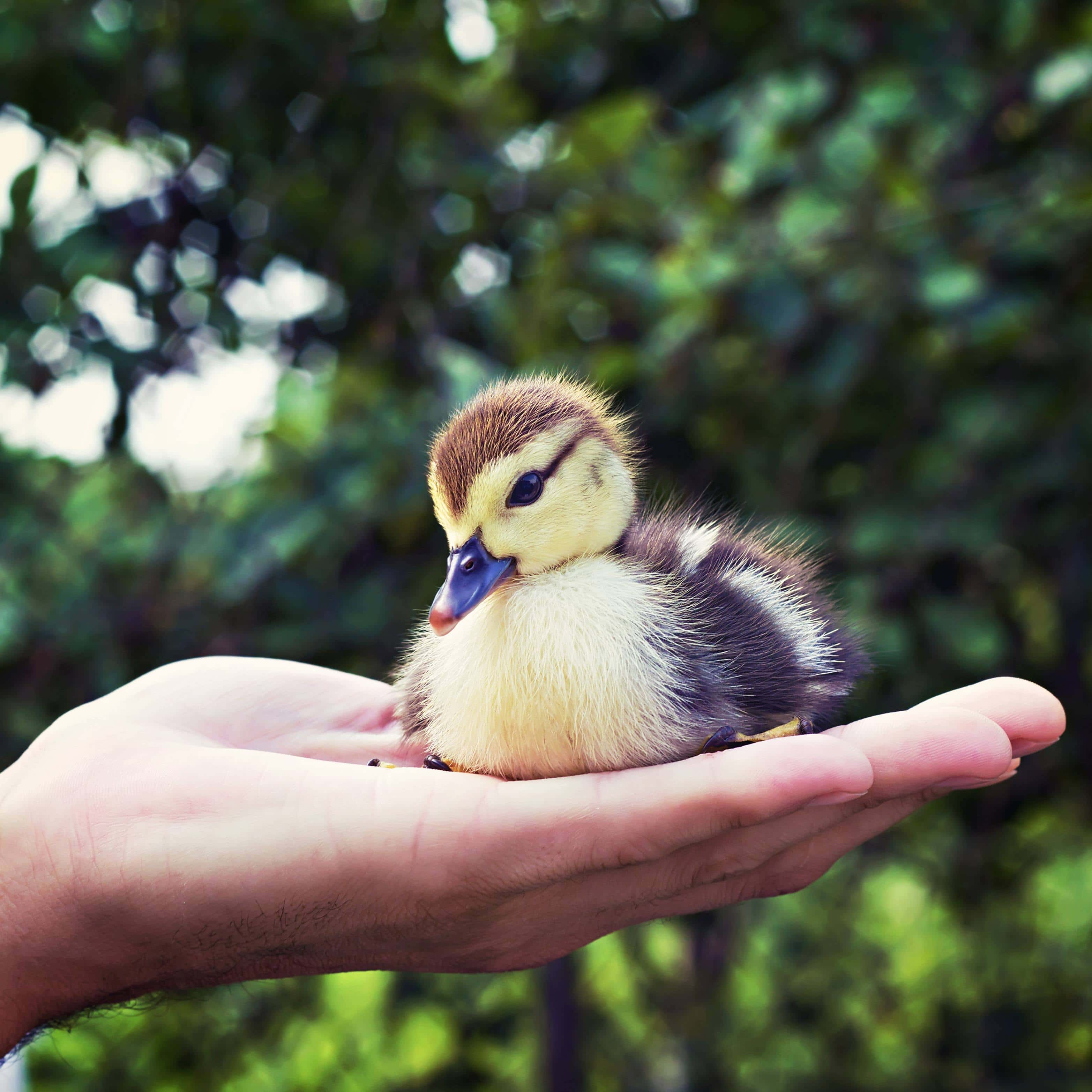 duck in palm of hands