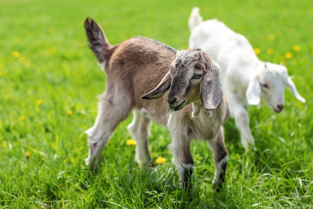 goats playing a field