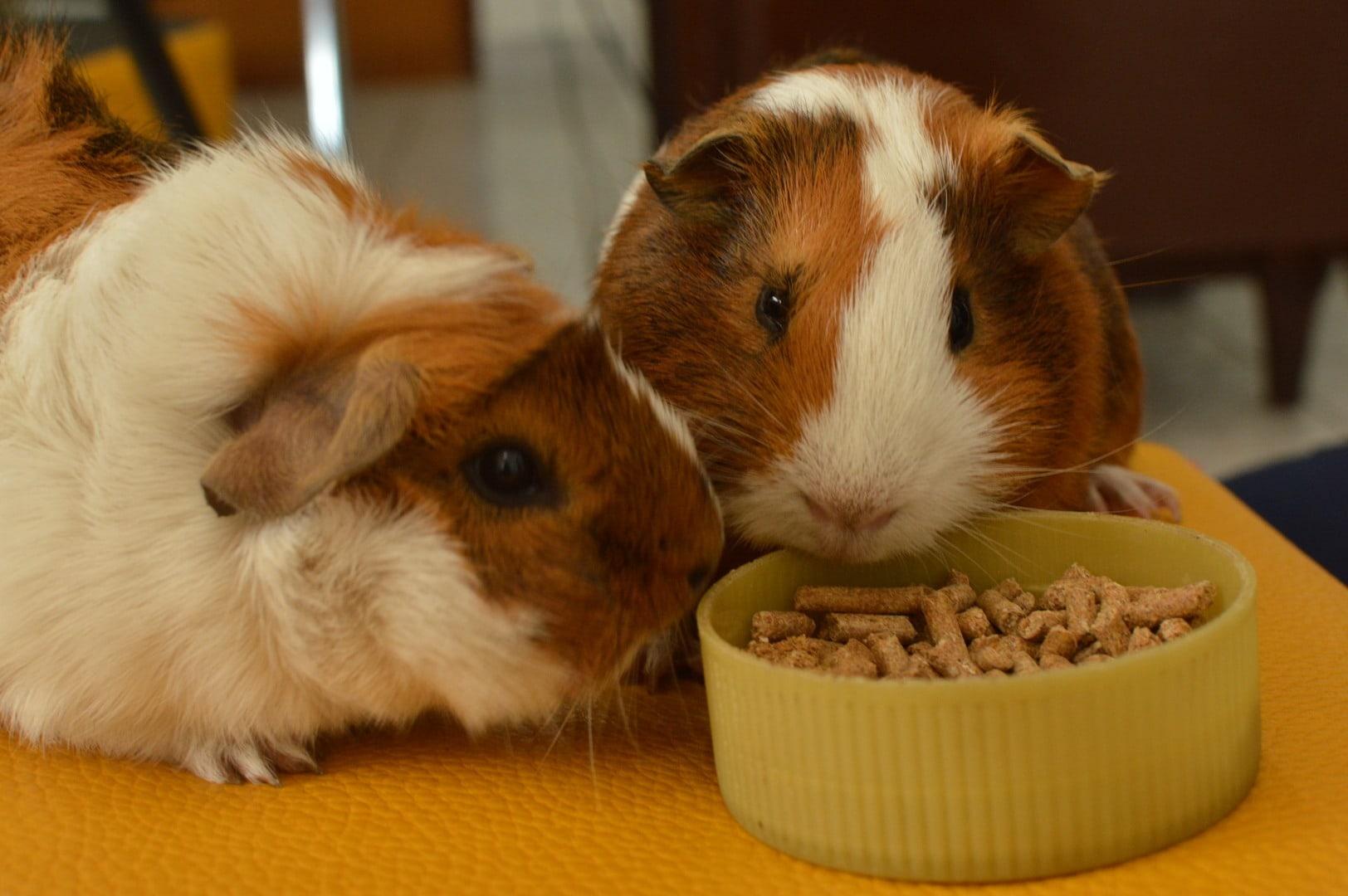 guinea pig eating pellets
