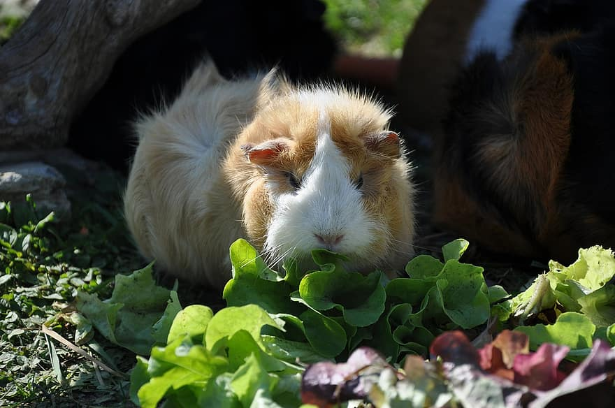 guinea pig eating veggies