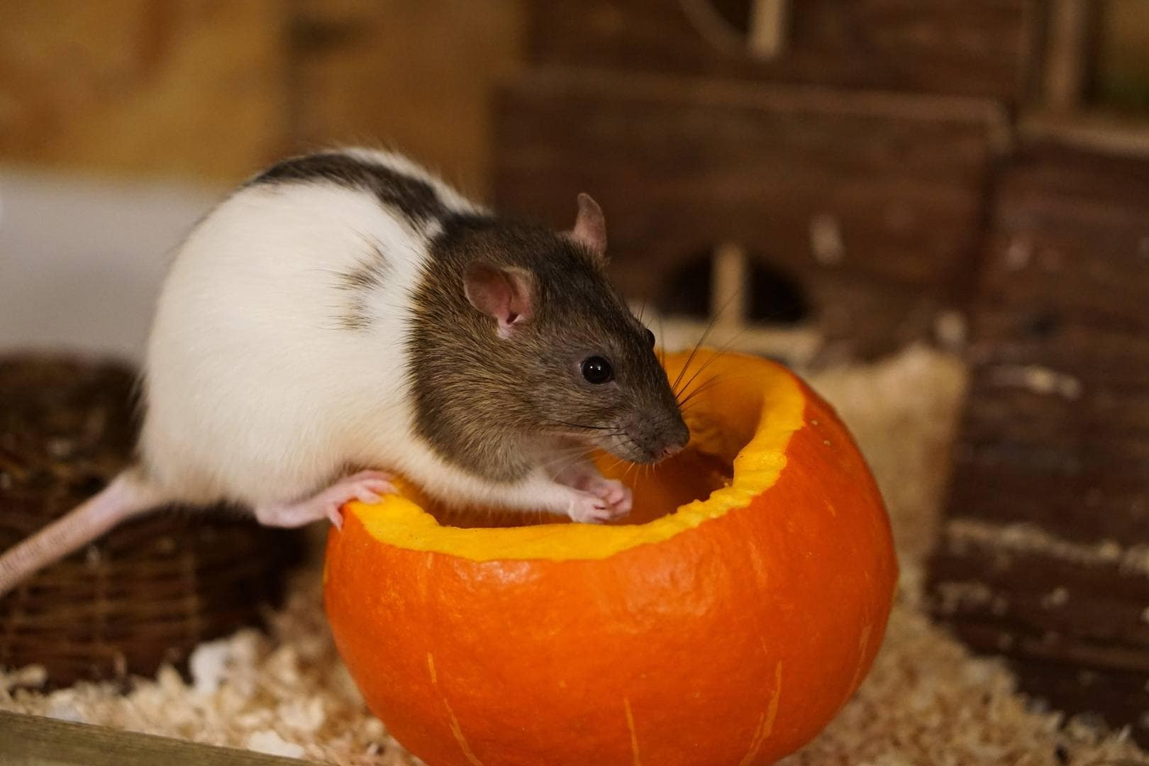 hamster eating orange