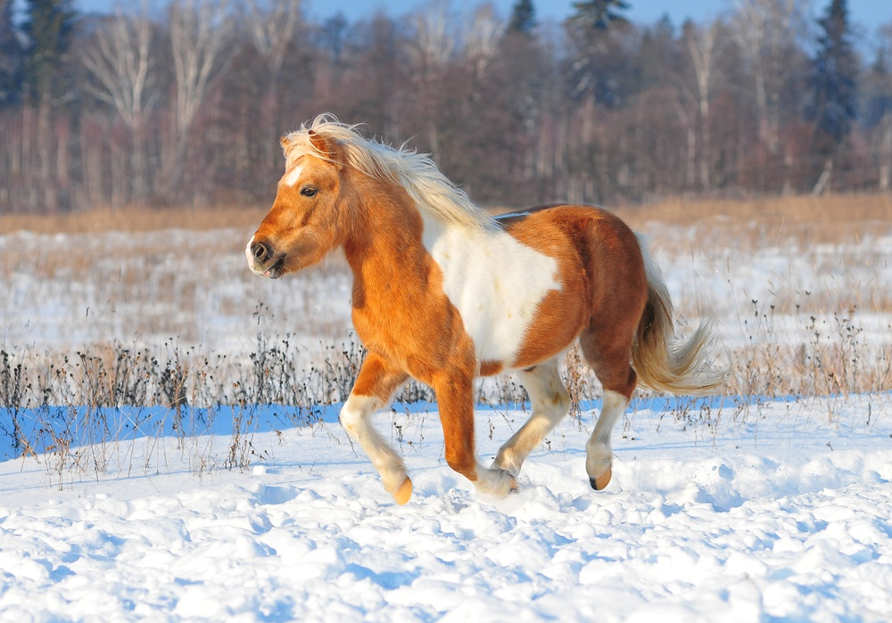 painted palomino horse