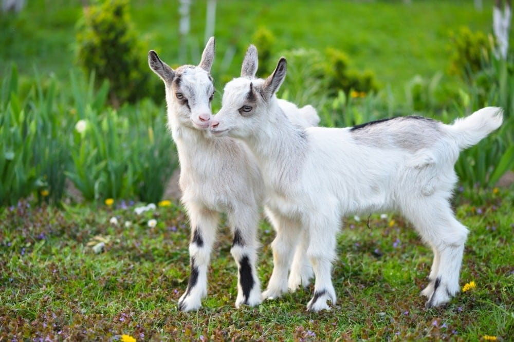 air of white goats