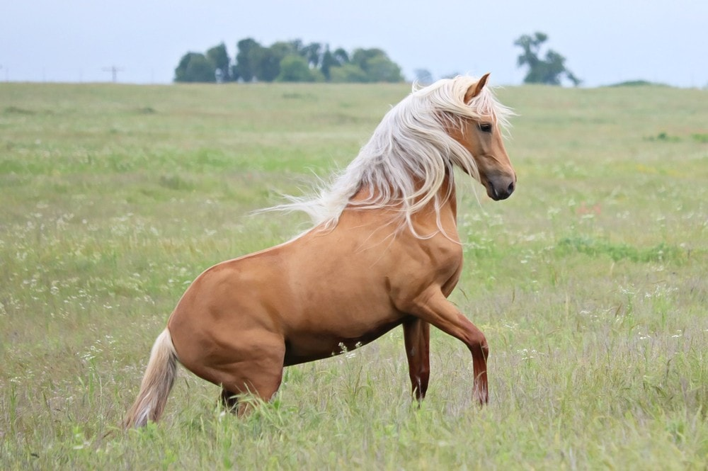 palomino stallion horse