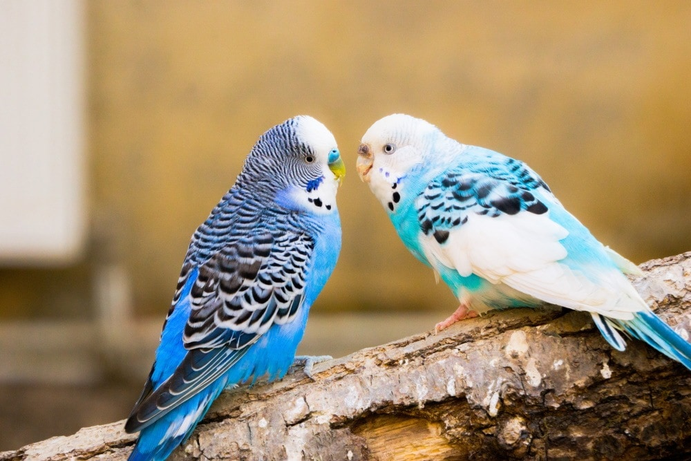 parakeets chatting