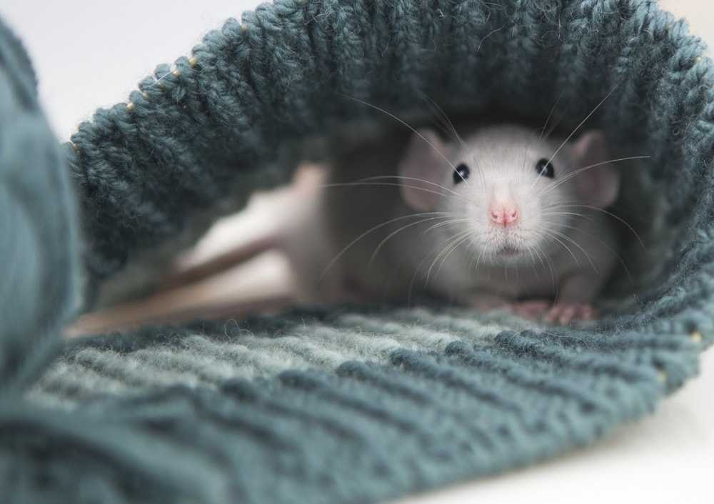 Rat wrapped in scarf