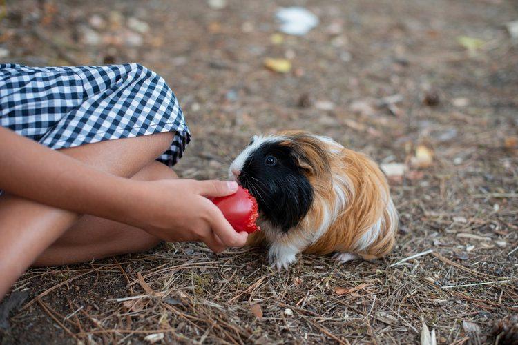 guinea pig eating tomato