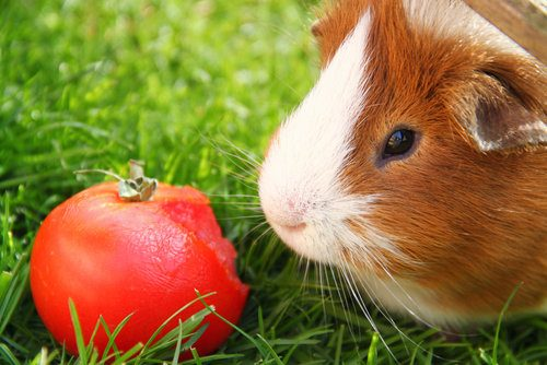 guinea pig looking at tomato