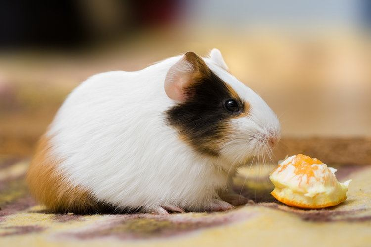 guinea pig eating an orange